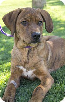 Mountain Cur/Hound (Unknown Type) Mix Puppy for adoption in Stillwater, Oklahoma - Gavin