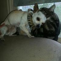 Adopt A Pet :: Lumos - West Richland, WA