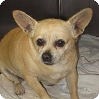 Chihuahua Mix Dog for adoption in Anderson, South Carolina - Punky