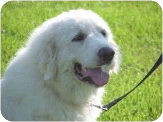 Great Pyrenees Dog for adoption in Kyle, Texas - Powder