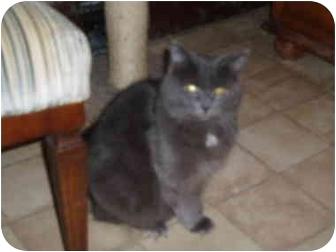 Domestic Longhair Cat for adoption in Hamburg, New York - Bamboozle