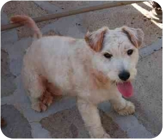 Terrier (Unknown Type, Small) Mix Puppy for adoption in Chula Vista, California - Charlie