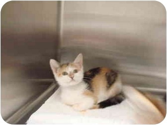 Calico Kitten for adoption in Nichols Hills, Oklahoma - Deanie