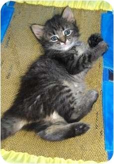 Domestic Mediumhair Kitten for adoption in Richmond, Virginia - April