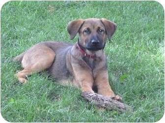 Shepherd (Unknown Type)/Labrador Retriever Mix Puppy for adoption in Naperville, Illinois - Mason 12 weeks