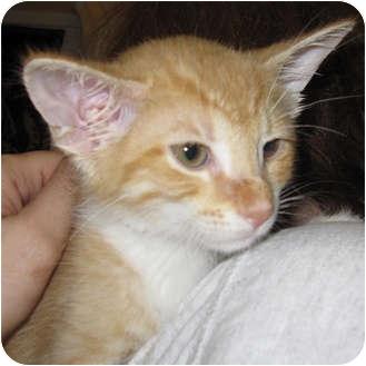 Domestic Shorthair Kitten for adoption in Catasauqua, Pennsylvania - Babe