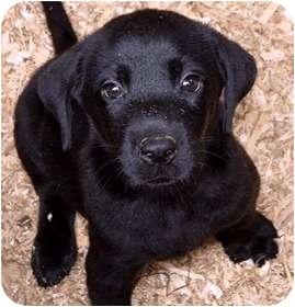 Labrador Retriever Puppy for adoption in toledo, Ohio - puppies