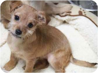Poodle (Miniature)/Terrier (Unknown Type, Small) Mix Puppy for adoption in Yuba City, California - Haley