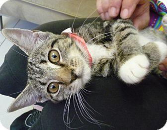 Domestic Shorthair Kitten for adoption in Philadelphia, Pennsylvania - Lesha