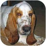 Basset Hound Dog for adoption in Phoenix, Arizona - Nash