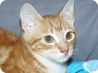 Domestic Mediumhair Kitten for adoption in Island Park, New York - Courage