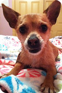 Chihuahua/Fox Terrier (Wirehaired) Mix Dog for adoption in Armada, Michigan - Mr. Trout