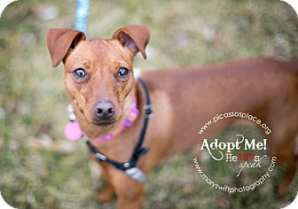 Miniature Pinscher Dog for adoption in Myersville, Maryland - Layla