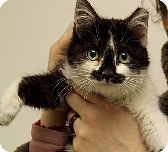 Domestic Shorthair Cat for adoption in Chicago, Illinois - Tiny Stache