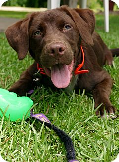 Labrador Retriever/Chesapeake Bay Retriever Mix Dog for adoption in Baton Rouge, Louisiana - Reed