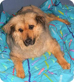 Golden Retriever/German Shepherd Dog Mix Dog for adoption in Caledon, Ontario - Mitzy