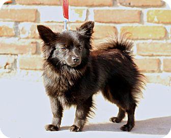 Pomeranian/Chihuahua Mix Dog for adoption in Encino, California - Mallory