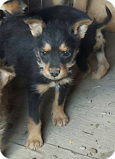 Terrier (Unknown Type, Small) Mix Puppy for adoption in Fowler, California - Scruffy Puppy