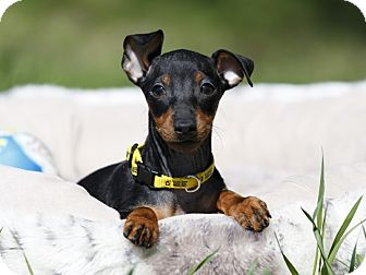 Manchester Terrier Puppy for adoption in Ile-Perrot, Quebec - Hansel