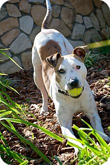 American Pit Bull Terrier Mix Dog for adoption in Lincoln, California - Sis
