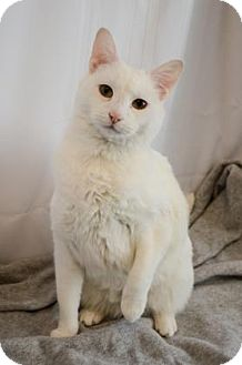 Domestic Shorthair Cat for adoption in Peace Dale, Rhode Island - Angel