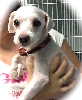Maltese Dog for adoption in Phoenix, Arizona - Sebastian