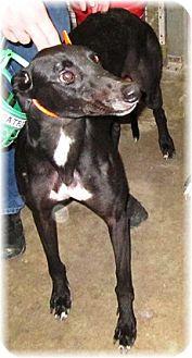 Greyhound Dog for adoption in Harrisburg, Pennsylvania - Sevtron