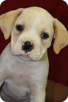 Boxer Mix Puppy for adoption in Waldorf, Maryland - Gia