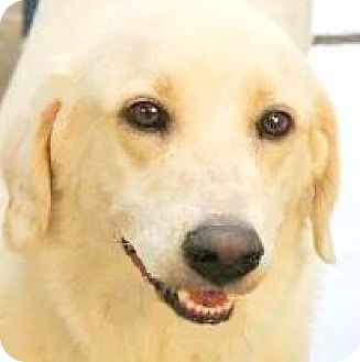 Golden Retriever/Labrador Retriever Mix Dog for adoption in Wakefield, Rhode Island - BUTTERS(GENTLE-SO LOVING!!)