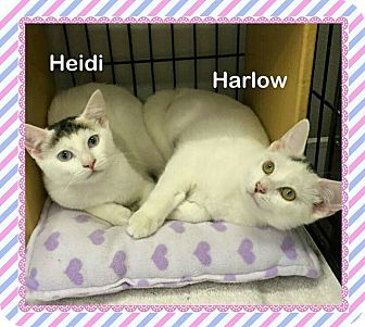 Domestic Shorthair Kitten for adoption in Atco, New Jersey - Harlow