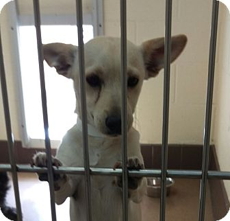 Dachshund Mix Puppy for adoption in Las Vegas, Nevada - Rascal