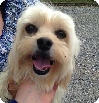 Maltese/Poodle (Miniature) Mix Dog for adoption in Allentown, Pennsylvania - Isabella