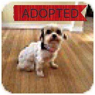 Yorkie, Yorkshire Terrier/Maltese Mix Dog for adoption in Regina, Saskatchewan - Dazzle