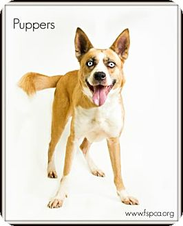 Shepherd (Unknown Type)/Husky Mix Dog for adoption in Voorhees, New Jersey - Puppers