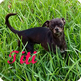 Chihuahua Dog for adoption in Hialeah, Florida - Titi
