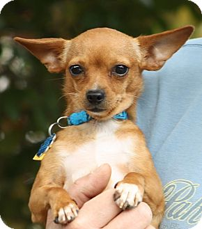 Chihuahua Mix Dog for adoption in Dallas, Texas - Dollie - Special Needs