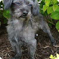 Adopt A Pet :: JJ - Bridgeton, MO