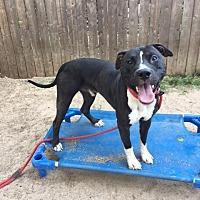Adopt A Pet :: Rocky - Mt Vernon, NY
