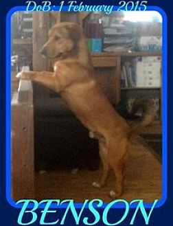 Basset Hound/German Shepherd Dog Mix Dog for adoption in Middletown, Connecticut - BENSON - $150