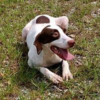 Adopt A Pet :: Ginger-URGENT - Allen town, PA
