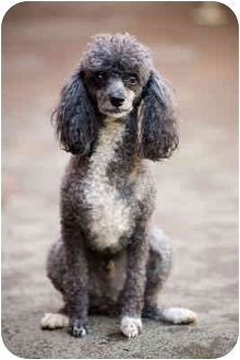 Miniature Poodle Dog for adoption in Portland, Oregon - Frenchie