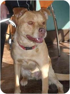 Golden Retriever/Labrador Retriever Mix Dog for adoption in Kellogg, Idaho - Lunar