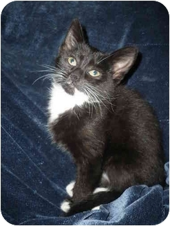 Domestic Shorthair Kitten for adoption in Loveland, Colorado - Baby