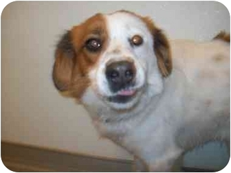 Cavalier King Charles Spaniel/Brittany Mix Dog for adoption in Buffalo, New York - Walter: Active Playmate!