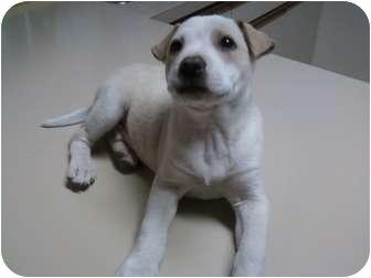 Labrador Retriever Mix Puppy for adoption in Yakima, Washington - Thompson