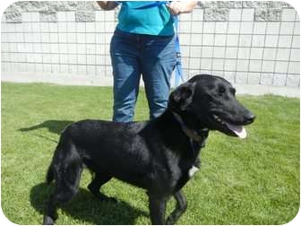 Labrador Retriever Mix Dog for adoption in Burbank, California - Janie - great FMILY girl!!
