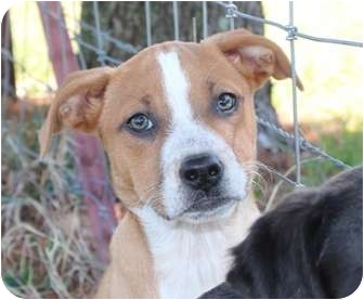 Labrador Retriever/Cattle Dog Mix Puppy for adoption in Hagerstown, Maryland - Delilah