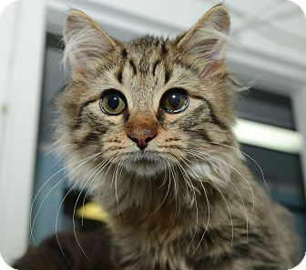 Domestic Mediumhair Cat for adoption in New York, New York - Logan