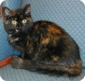 Domestic Mediumhair Kitten for adoption in Jackson, Michigan - Nora