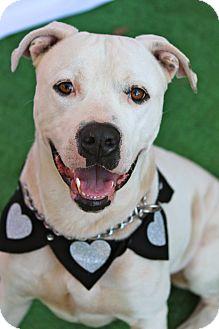 American Bulldog Mix Dog for adoption in Tampa, Florida - Rocky